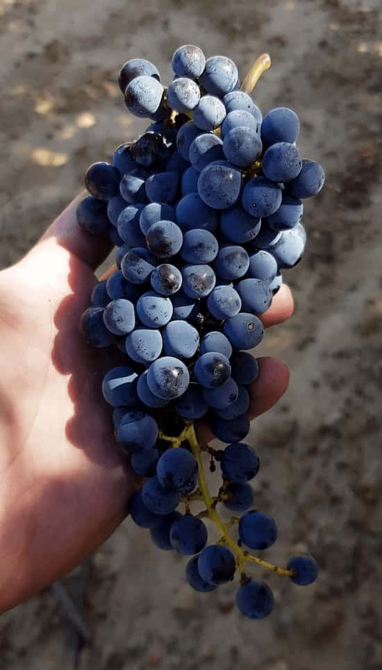grape Syrah